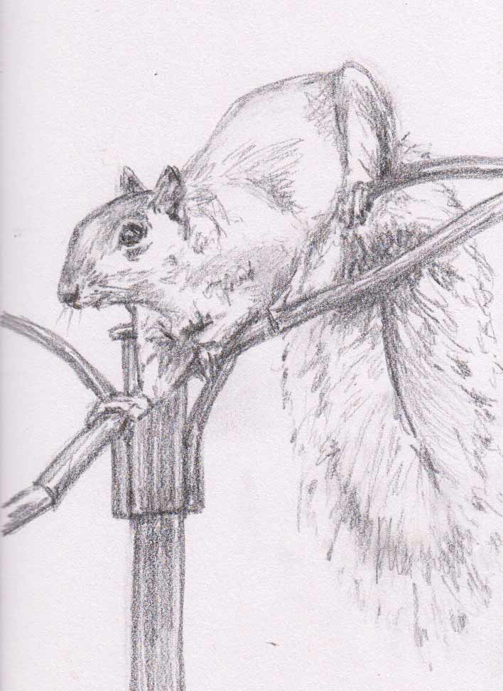 Curious Squirrel (Graphite)