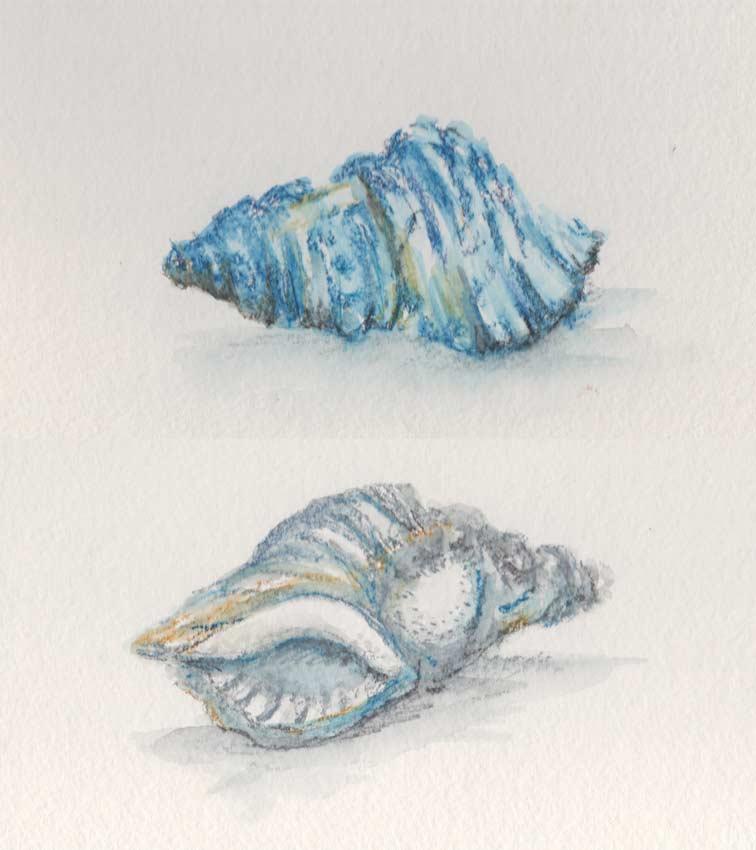 Curly Sea Shell (Watercolour Crayon)