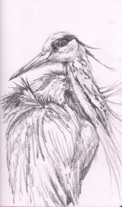Blue Heron (graphite)