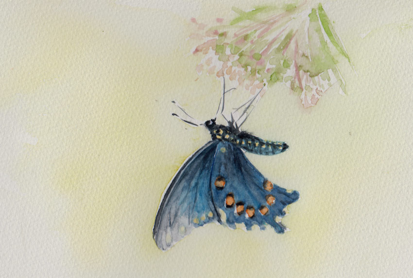 Pipevine Swallowtail (Watercolour)