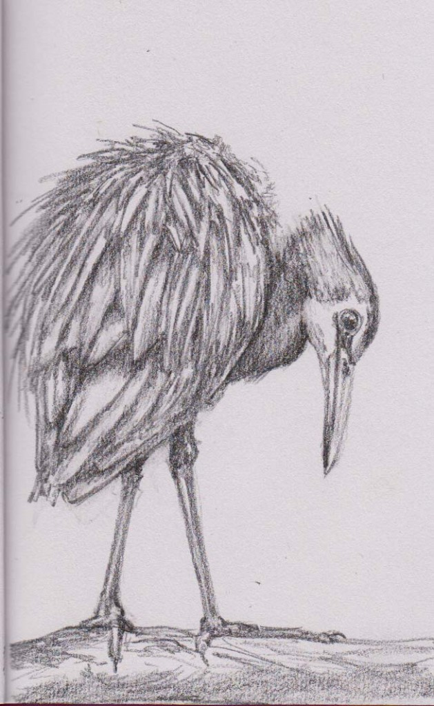 White Faced Heron (Graphite)