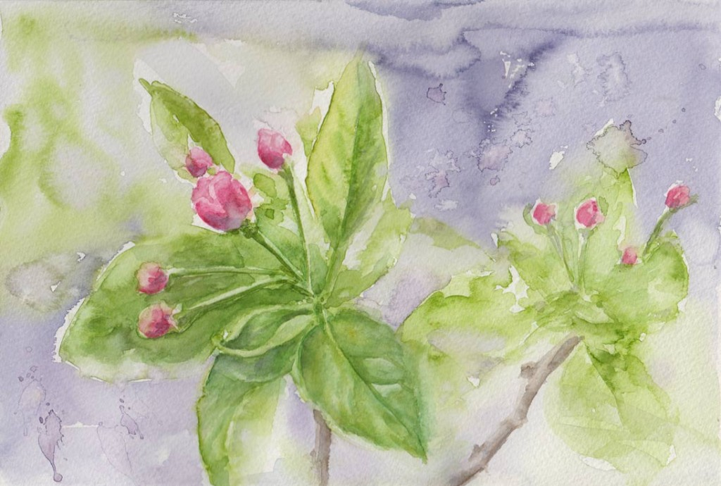 Emerging Apple Blossom (Watercolour)