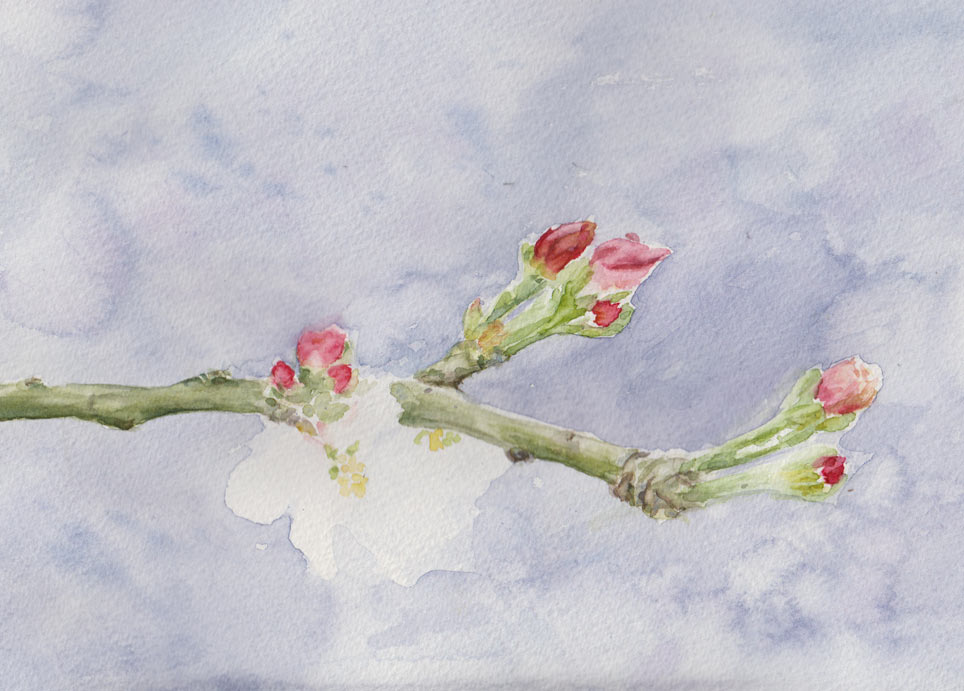 Granny Smith Apple Blossom (Watercolour Study)