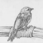 Noumea Sparrow (graphite)