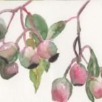 Gum Nut Sketch (Watercolour)
