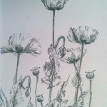 Poppies (graphite)