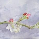 Granny Smith Apple Blossom (Watercolour Study)